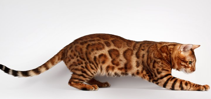 Скидка 10% на покупку бенгальского котенка при бронировании до 15 августа