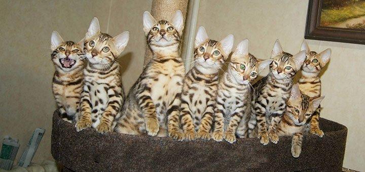 Скидка 30% на покупку бенгальских котят в питомнике «A-DesaDiamond»