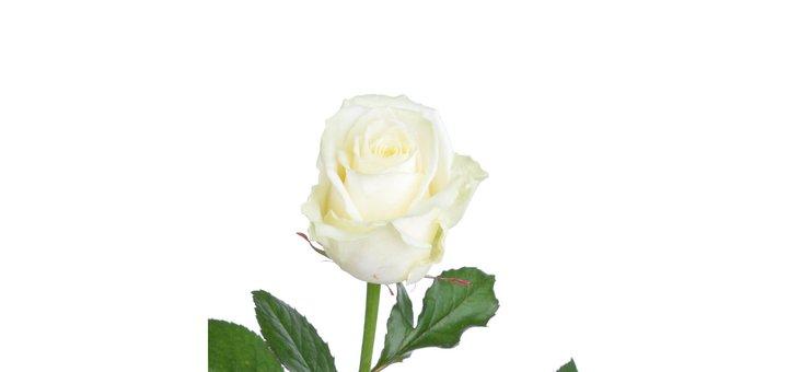 Роза Аваланч 60 см по 15 грн/шт