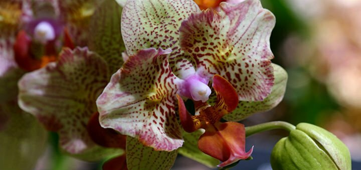 Акция! Набор из двух деток орхидеи за 170 грн. Успей заказать со скидкой!