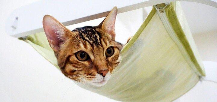 Скидка 50% на посещение котейни с живыми бенгальскими котами и чаузи «Cat House»